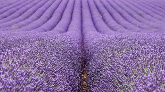 vídeos de stock e filmes b-roll de beautiful lavender fields in provence - lavanda planta