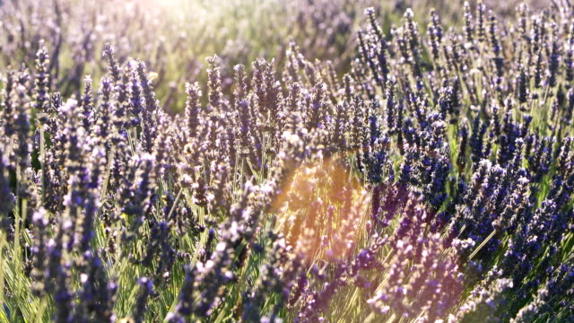 beautiful lavender fields in Provence video
