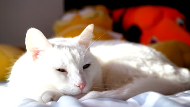 Beautiful lazy white cat cannot keep her eyes open Beautiful lazy white cat cannot keep her eyes open midday stock videos & royalty-free footage