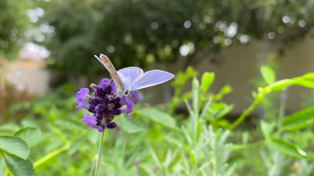 beautiful lilac butterfly sits on a lavender flower, collecting nectar. Diurnal butterfly, insect of the Poliommatinae family.