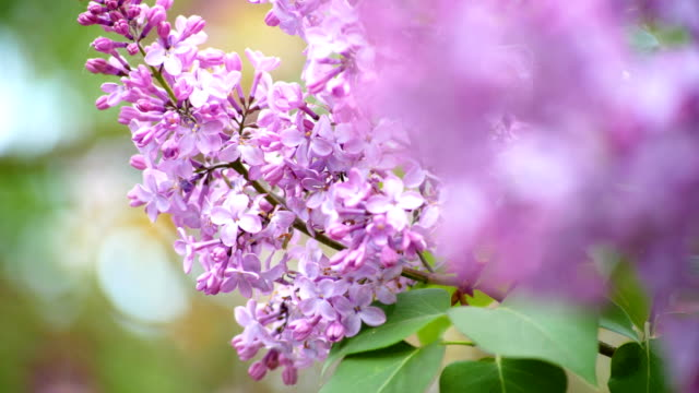 vídeos de stock e filmes b-roll de beautiful lilac flowers with the leaves - violeta flor