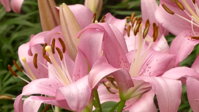 Beautiful lilly flower in garden