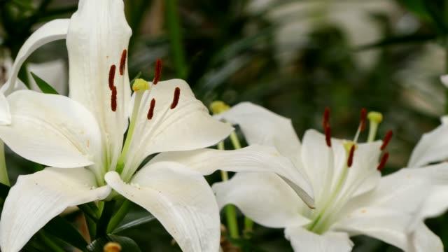 beautiful lilly flower in garden - lilia filmów i materiałów b-roll