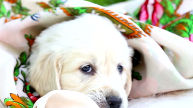 beautiful little golden retriever puppy in nature beautiful little golden retriever puppy in nature hound stock videos & royalty-free footage