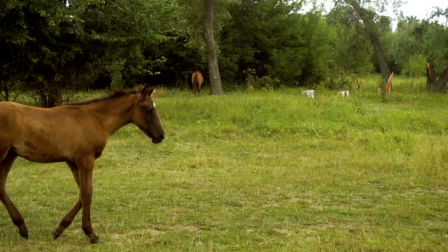beautiful little horse goes through the grass video