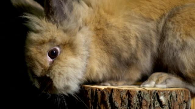 Schöne kleine Kaninchen mit braunen Augen sitzen auf einem hölzernen stumpf und schaut in die Kamera – Video