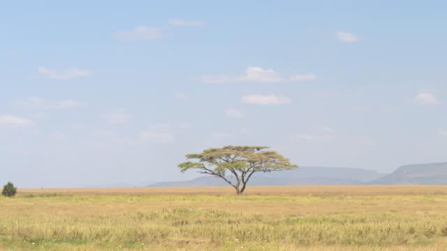 schöne einsame akazienbaum wächst in der mitte des unendlichen serengeti plains - afrikanische steppe dürre stock-videos und b-roll-filmmaterial