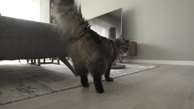 vackra långt hår katt hemma video montage - katt inomhus bildbanksvideor och videomaterial från bakom kulisserna