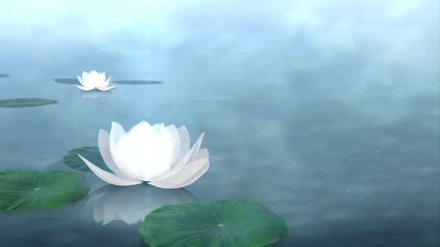 Beautiful Lotus Blossom Lotus or Waterlily in shiny scenery. Waterdrop. zen like stock videos & royalty-free footage