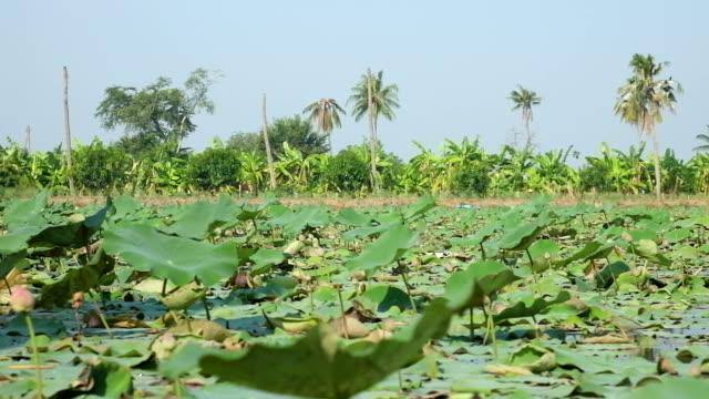 Beautiful Lotus farm in Thailand