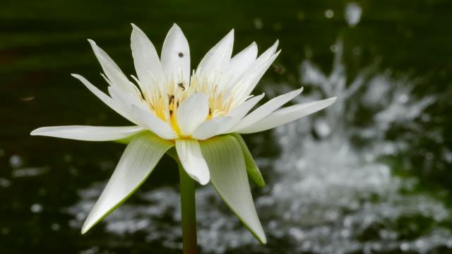 Beautiful Lotus Flower in nature. video