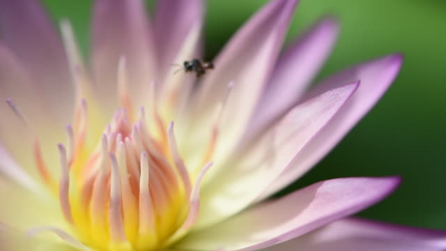 Beautiful Lotus or waterlily and insect on pond outdoor, slow shot