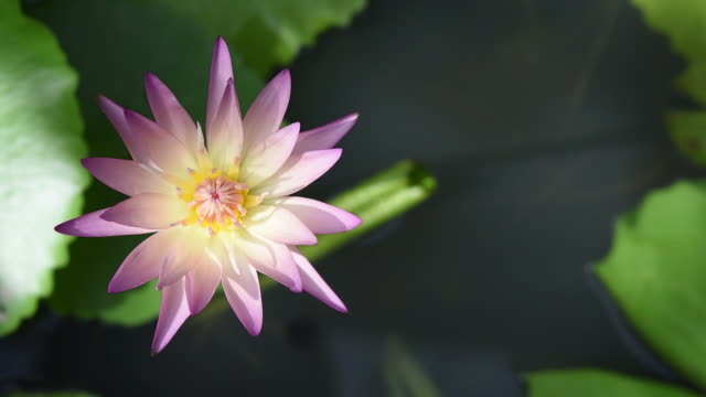 Beautiful Lotus or waterlily on pond outdoor