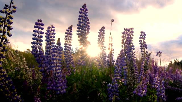 schöne lupin feld am lake tekapo, neuseeland im sommer - lupine stock-videos und b-roll-filmmaterial