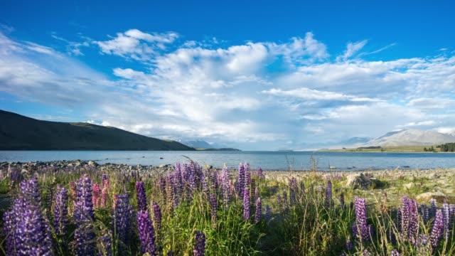 Beautiful Lupin Field at Lake video