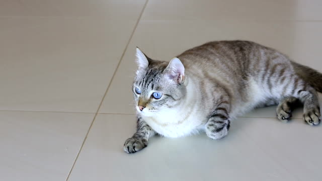 Beautiful lying cat gets up and leaves Beautiful lying cat a gets up and leaves. shorthair cat stock videos & royalty-free footage