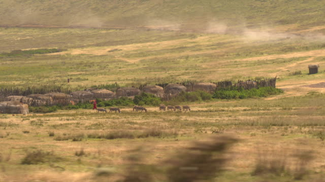 AERIAL: Beautiful maasai village and tribe herding animals on pasture in Africa AERIAL, CLOSE UP: Picturesque life of nomads in tribal society in savannah grassland. Maasai people dressed in traditional vibrantly colored khanga clothes herding donkeys on pasture in wilderness tanzania stock videos & royalty-free footage