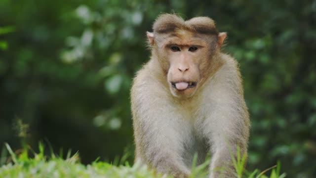 una bellissima scimmia macaco appoggiata su un tumulo d'erba - al rallentatore - scimmia video stock e b–roll