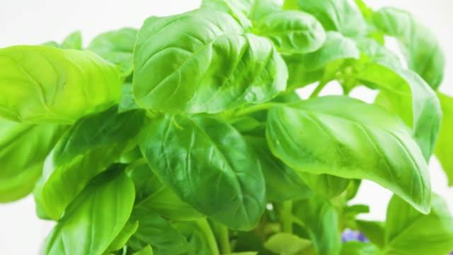 Beautiful macro of Fresh basil leaves rotating on white background. Close up. Ocimum basilicum