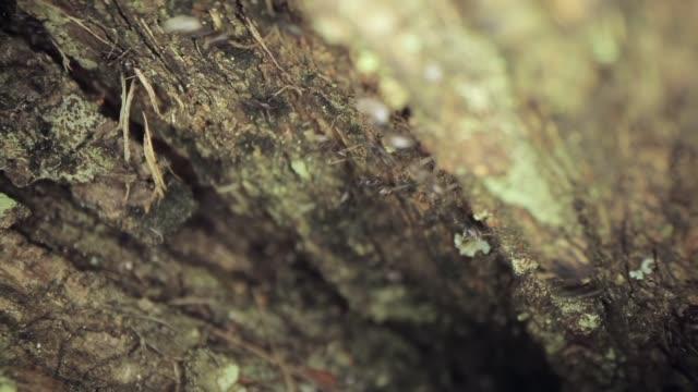 vídeos y material grabado en eventos de stock de hermosa macro toma de un montón de hormigas que se mueven por un árbol - insecto himenóptero