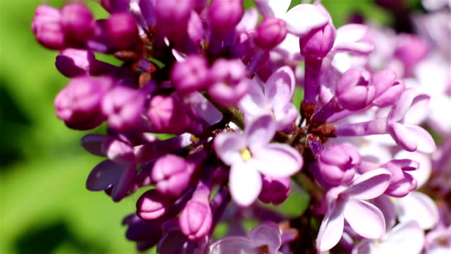 Beautiful macro video of a purple lilac flower blooming Beautiful macro video of a purple lilac blooming. Close up flowers. Spring time 天の川 stock videos & royalty-free footage