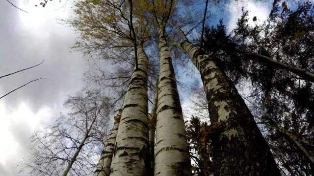 Beautiful majestic birch  trunks in autumn wind, time lapse video