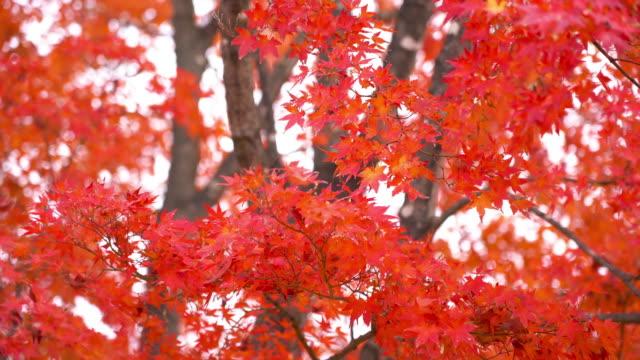schöne ahornblatt und baum in der herbstsaison japan - ahorn stock-videos und b-roll-filmmaterial