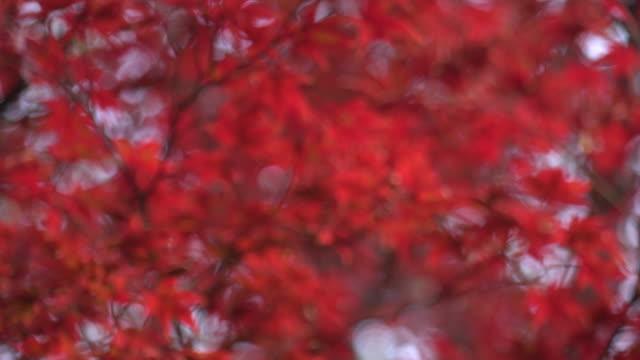 beautiful maple leaves - maple leaf stock videos & royalty-free footage
