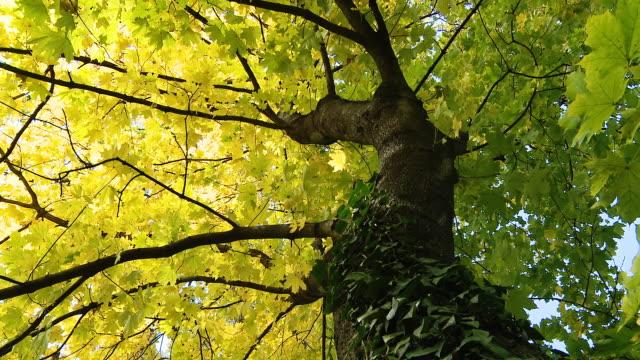 hd dolly: wunderschöne ahorn tree - ahorn stock-videos und b-roll-filmmaterial
