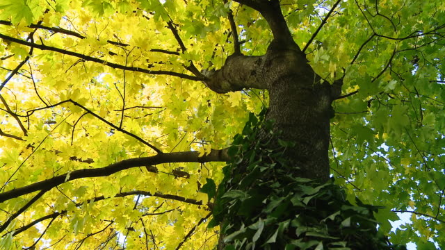 HD DOLLY: Beautiful Maple Tree video