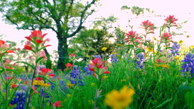 vídeos de stock e filmes b-roll de beautiful meadow of texas hill country wildflowers and fresh spring green grass. colorful wild flowers, bluebonnets (lupinus texensis), indian paintbrush (castilleja indivisa) and four-nerve daisies - granadilha