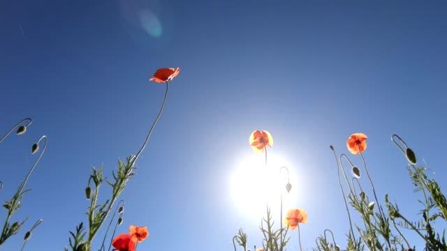 vidéos et rushes de belle prairie de fleurs sauvages, rouge coquelicot, champ de coquelicot, de bas en haut, abeille-tunney, 4k - vue en contre plongée verticale