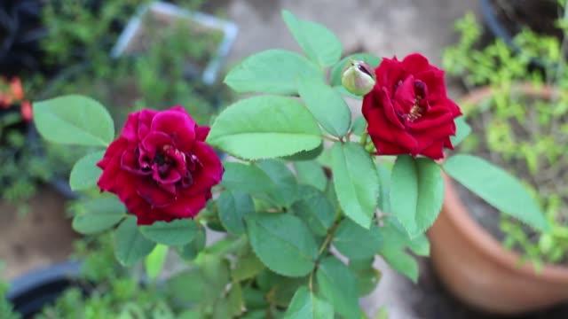 vidéos et rushes de belle mini plante rouge de fleur de rose de velours - composition florale