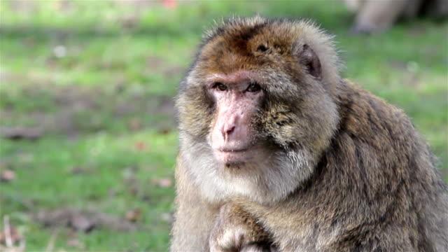 vídeos y material grabado en eventos de stock de hermoso monos primer plano de circuito barbary macaques de argelia & marruecos - árboles genealógicos