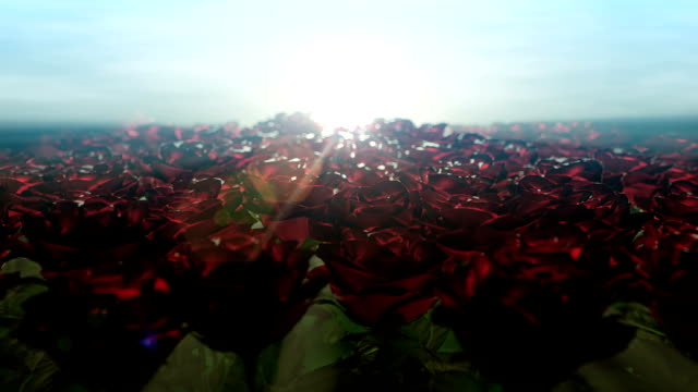 Beautiful morning and moving along field of roses video