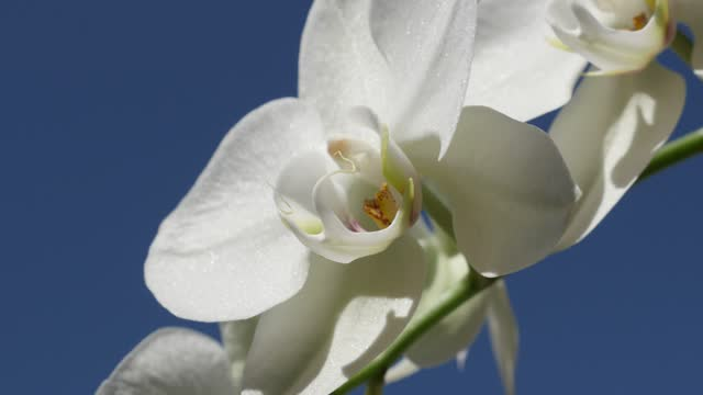 Beautiful Moth orchid plant outdoor 4K