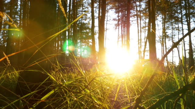 stockvideo's en b-roll-footage met prachtige natuur van het bos bij zonsondergang - kleine scherptediepte