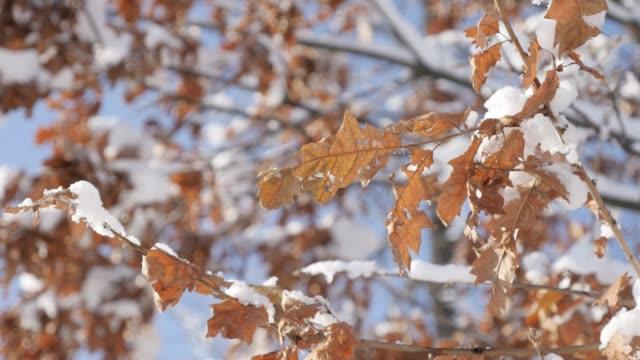 schöne eiche blätter und blue sky winter hintergrund 4k 2160p 30fps ultrahd footage - weißer schnee oberhalb golden leaf baum zweige nahaufnahme 3840 x 2160 uhd video - laub winter stock-videos und b-roll-filmmaterial