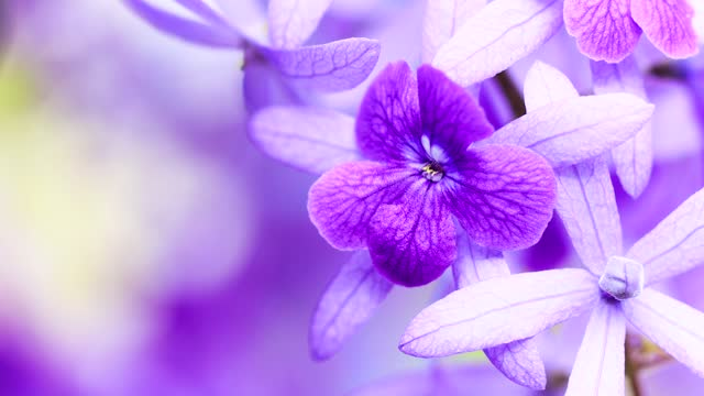 Beautiful of Violet flowers sway on the wind.