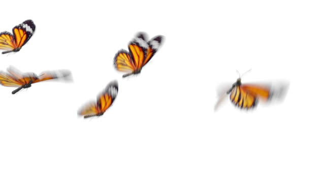 Beautiful Orange Colored Butterflies Monarch (Danaus Plexippus) Flying on White and Green Backgrounds Close-up. Seamless 3d Animation with Green Screen Alpha Channel.