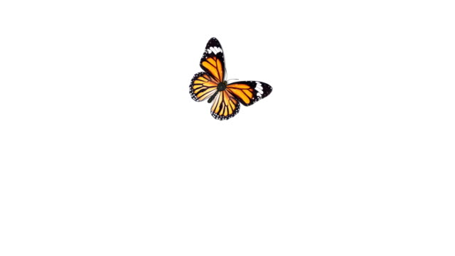 Beautiful Orange Colored Butterfly Monarch (Danaus Plexippus) Flying and Sitting on White and Green Backgrounds Close-up. Seamless 3d Animation with Green Screen Alpha Channel.