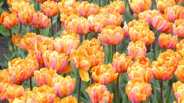 キューケンホフに咲く美しいオレンジ色の花 - キューケンホフ公園点の映像素材/bロール