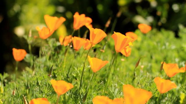 Beautiful Orange Poppies video