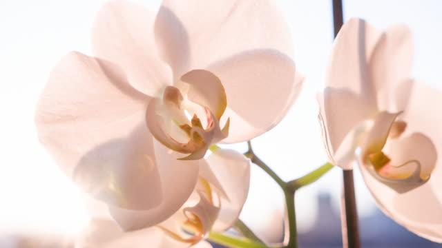 schöne orchidee blüten bei sonnenuntergang - orchidee stock-videos und b-roll-filmmaterial
