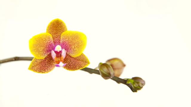 schöne orchidee blume blühen - orchidee stock-videos und b-roll-filmmaterial