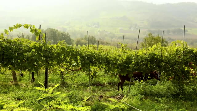 Beautiful panoramic view of the Italian valley with vineyards, a pony eats grapes. panorama video