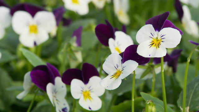 HD DOLLY: Beautiful Pansies