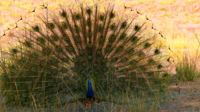 beautiful peacock dancing in bandhavgarh national park - peacock стоковые видео и кадры b-roll