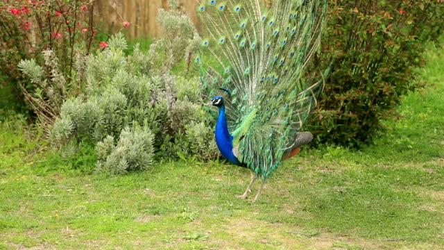 красивый синий брючины отделаны хвост - peacock стоковые видео и кадры b-roll