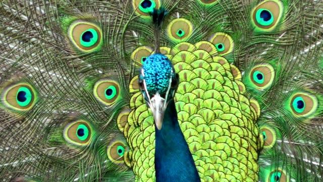 красивый павлин точения - peacock стоковые видео и кадры b-roll